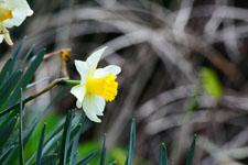 白い水仙の花の画像008