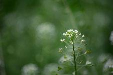 ナズナの花の画像002