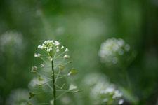 ナズナの花の画像003