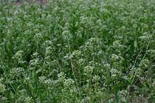 ナズナの花の画像004