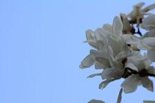 モクレンの花の画像002