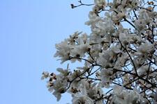 モクレンの花の画像003