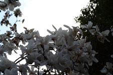 モクレンの花の画像004