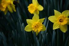 黄色い水仙の花の画像002
