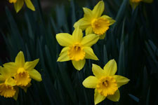 黄色い水仙の花の画像003