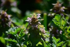 キランソウの花の画像002