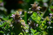 キランソウの花の画像003
