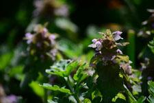 キランソウの花の画像004