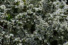 ユキヤナギの花の画像011