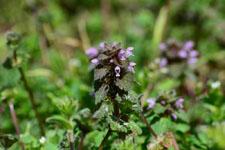 ホトケノザの花の画像004