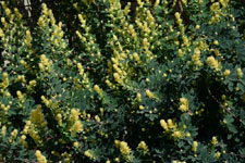 園芸植物の葉の画像006