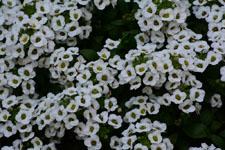 ユキヤナギの花の画像013
