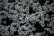 ユキヤナギの花の画像014