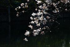 井の頭恩賜公園の五分咲きの桜の画像001
