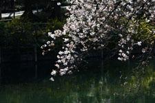井の頭恩賜公園の五分咲きの桜の画像003