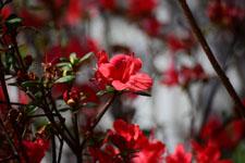 ツツジの花の画像002