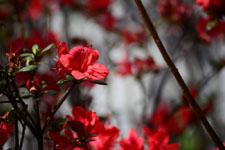 ツツジの花の画像003