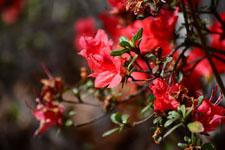 ツツジの花の画像004