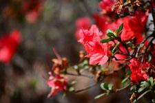 ツツジの花の画像005