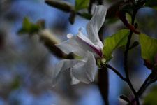 モクレンの花の画像005