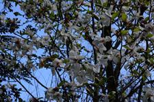 モクレンの花の画像006