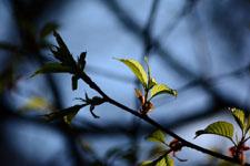桜の若葉の画像002