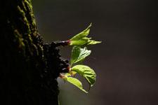 桜の若葉の画像006