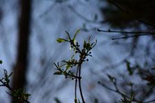 桜の若葉の画像008