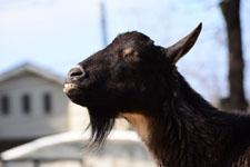 井の頭動物園のヤギの画像008
