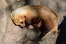 井の頭動物園のアナグマの画像004