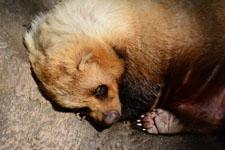 井の頭動物園のアナグマの画像006