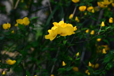 ヤマブキソウの花の画像001