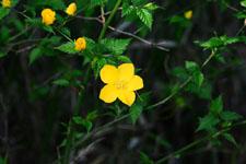 ヤマブキソウの花の画像002