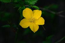 ヤマブキソウの花の画像003