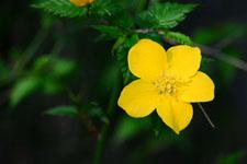 ヤマブキソウの花の画像004