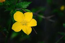 ヤマブキソウの花の画像005