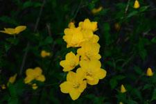 ヤマブキソウの花の画像006