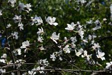 コブシの花の画像001