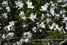 コブシの花の画像002