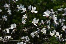 コブシの花の画像003