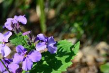オオアラセイトウの花の画像001