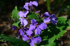 オオアラセイトウの花の画像002