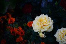 白い薔薇の花の画像001
