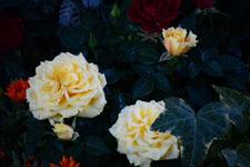 白い薔薇の花の画像002