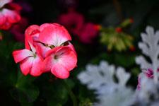 ピンクの花の画像001