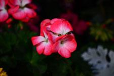 ピンクの花の画像002