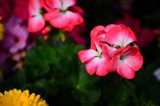 ピンクの花の画像003