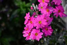 プリムラの花の画像013