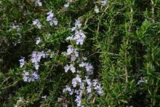 ローズマリーの花の画像002