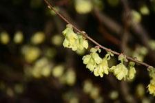 トサミズキの花の画像001